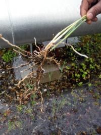 Das Dach als Gebäudehüllenteil wird vom Pflanzenwuchs belastet und benötigt regelmässige Pflege.
